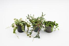 Hang plant mini mix deal
