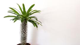 "Pachypodium Lamerei BIG "" Madagaskar Palm """