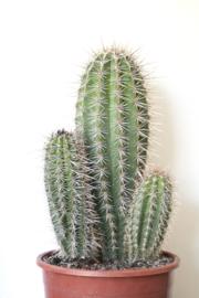 Pachycereus Pringlei cactus big