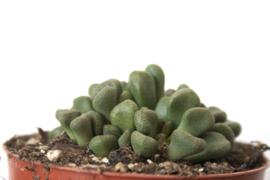 Aloinopsis Schooneesii Succulent