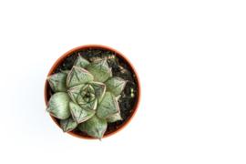 Echeveria purpusorum white form