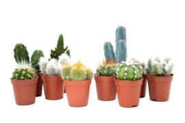 Interior set 10st (5,5 cm) Cactus