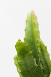 Epiphyllum hybride Artic night