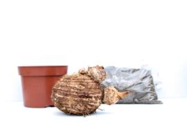 Colocasia Esculenta DIY set