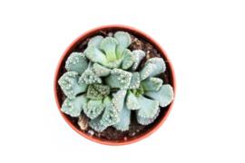 Titanopsis Calcarea Succulent