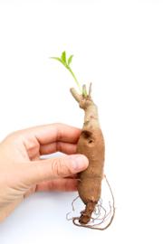 Caudex plant set Adansonia Digitata Baobab