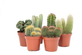 Interior set (8,5 cm) 6st Cactus