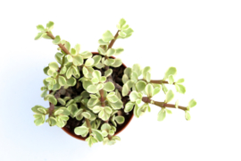 Portulacaria Afra variegata Spekboom