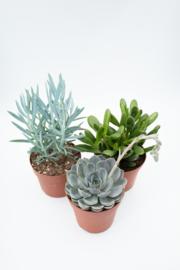 Interior set (12 cm) 3st succulent