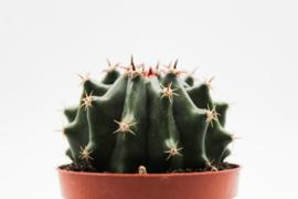Ferocactus horridus f. brevispinus