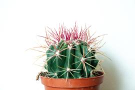 Ferocactus Stainesii Barrelcactus