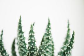 Aloe Humilis x Pratensis