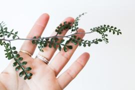 Boswellia neglecta