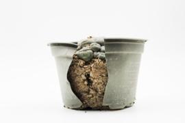 Cactussen en vetplanten verpotten