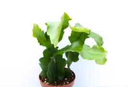 Epiphyllum crenatum beavertail cactus