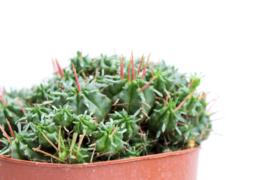 Euphorbia Meloformis clusters