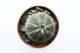 Euphorbia Obesa small
