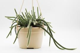 Aporocactus flagelliformis (Disocactus flagelliformis)