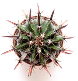 Ferocactus Herrerae big