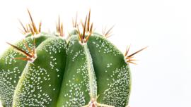 Astrophytum Ornatum in schaal