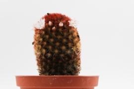 Mammillaria carmenae f. rubrispina