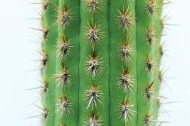 Cleistocactus acanthurus subsp. pullatus