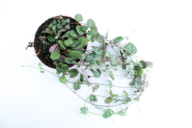 Ceropegia Woodii String of hearts Chinees lantaarn plantje