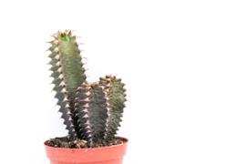 Euphorbia Canariensis cluster