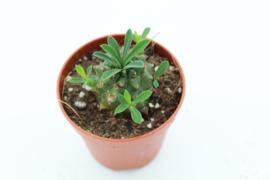 Euphorbia Japonica