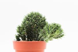 Euphorbia submammillaris f. pfersdorfii