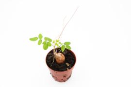 Moringa oleifera caudex