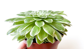 Aeonium Tabuliforme Variegata Succulent