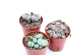 Lithops mix deal