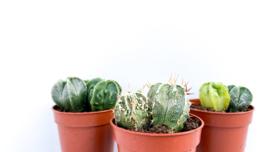 Astrophytum hybrid mix