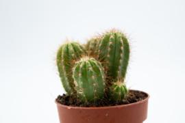 Cipocereus Pusilliflorus