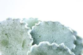 Cotyledon orbiculata f. undulata