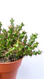 Euphorbia Lenewtonii