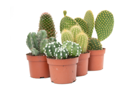 Interior set (10,5 cm) 5st Cactus