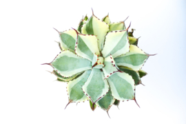 Agave potatorum ''Kichijokan'' Extra variegata