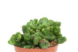 Euphorbia Enopla cristaat groot