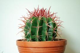Ferocactus Stainessi Bolcactus groot