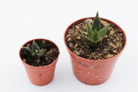 Ariocarpus Trigonus var. elongatus