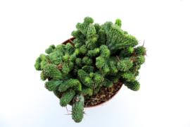 Euphorbia Enopla cristate big