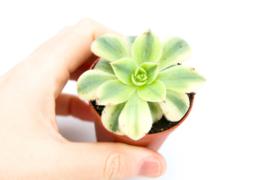 Aeonium Starburst vetplant