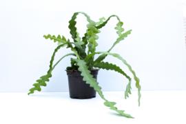 Epiphyllum Anguliger Zaagcactus