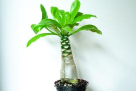 Brighamia Insignes Hawaiian Palm