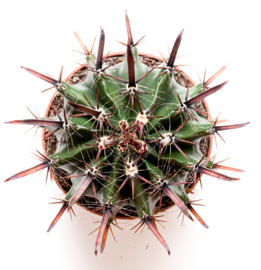 Ferocactus Herrerae barrelcactus
