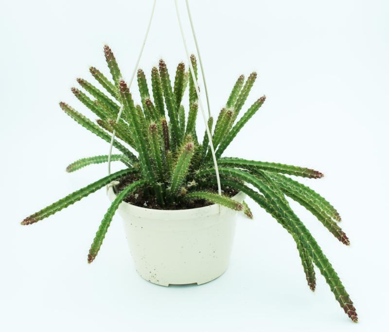 Aporocactus flagelliformis sussex Flame