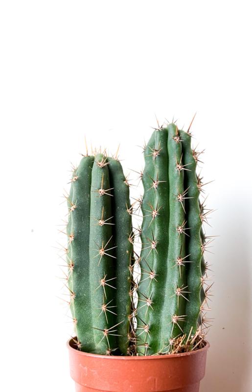 Trichocereus Peruvanus Zuilcactus duo