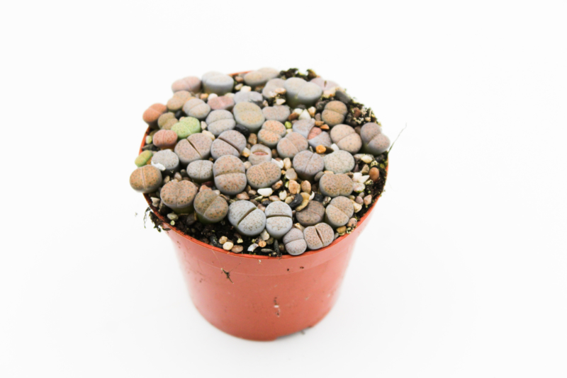 Lithops Fulviceps clusters